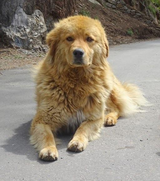 Himalayan mastiff