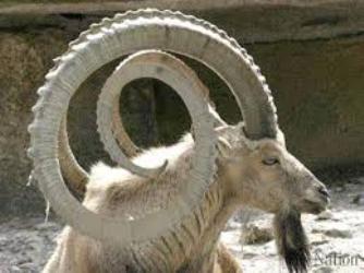 Asian ibex