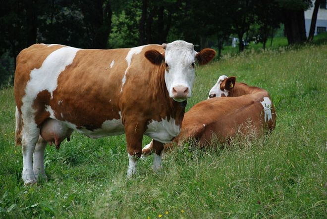 Austrian cow Fleckvieh breed.JPG